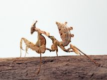 Devil`s flower mantis & x28;Idolomantis diabolica& x29; nymph  stock images