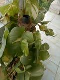 Devil& x27;s ivy & x28;Epipremnum aureum& x29; Leaves stock images