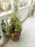 Devil& x27;s ivy & x28;Epipremnum aureum& x29; Leaves royalty free stock photos
