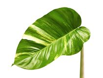 Devil`s ivy, Golden pothos, Epipremnum aureum, Heart shaped leaves vine with large leaves isolated on white background, with clipp stock images