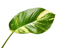 Devil`s ivy, Golden pothos, Epipremnum aureum, Heart shaped leaves vine with large leaves isolated on white background, with clipp