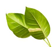 Devil`s ivy, Golden pothos, Epipremnum aureum, Heart shaped leaves vine with large leaves isolated on white background. With clipping path Stock Photography
