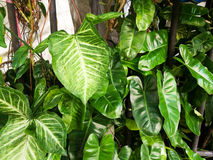 devil's ivy or golden pothos stock photography