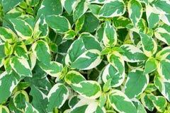 Devil& x27;s ivy. Golden pothos or devil& x27;s ivy, ornamental plants in thailand stock image