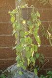 Devil`s ivy hanging on pot.Epipremnum aureum