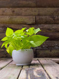 Devil's Ivy in pot ,on wooden table and wooden background Stock Photos