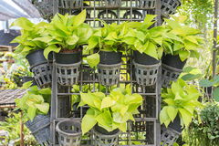 Devil s ivy (Pothos)  for decoration. Stock Photo