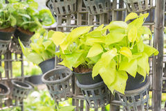 Devil s ivy (Pothos)  for decoration. Royalty Free Stock Photo