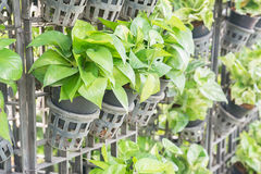 Devil s ivy (Pothos)  for decoration. Stock Image