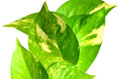Devil's ivy, Thailand Royalty Free Stock Images