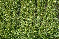 Devil's Ivy variegated Pothos leave for background Stock Image