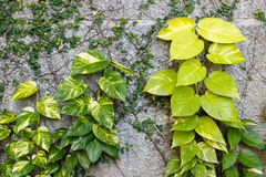 Devil's ivy on wall. Devil's ivy is a species of flowering plant in the family of Araceae Stock Images