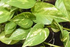 Devil& x27; s-murgröna & x28; pengarplant& x29; Arkivfoto