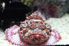 Devil Scorpion Fish Stock Images