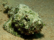 Devil scorpionfish Stock Images