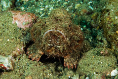 Devil scorpionfish in Ambon, Maluku, Indonesia underwater photo Royalty Free Stock Photography