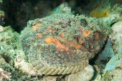 Devil scorpionfish in Ambon, Maluku, Indonesia underwater photo Stock Photography