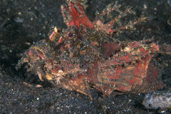 Devil Scorpionfish from Lembeh Straits Stock Photos