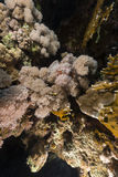 Devil scorpionfish in the Red Sea. Stock Photography