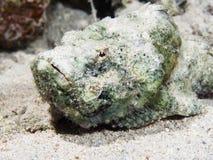 Devil scorpionfish Royalty Free Stock Photo