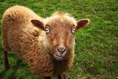 Devil Sheep Stock Image