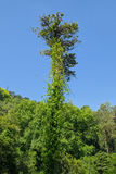 Devil tree Royalty Free Stock Photo