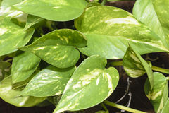 Devil's ivy (money plant)
