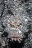 Devilfish espinoso imagen de archivo libre de regalías