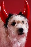 Devilish dog. A dog wearing a devil horns halloween costume Royalty Free Stock Photos