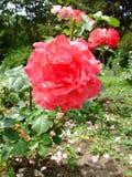 Deville vermelho Rosa Fotos de Stock