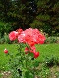 Deville vermelho Rosa Imagens de Stock Royalty Free