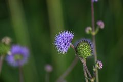 Devils Bit Scabious Stock Photo