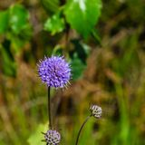 Devils-bit Scabious or Succisa pratensis, flowers macro with bokeh background, selective focus, shallow DOF.  stock images
