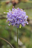 Devils-bit Scabious. Succisa pratensis Royalty Free Stock Images