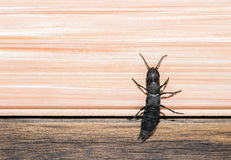 Devils coach horse bug Royalty Free Stock Photos