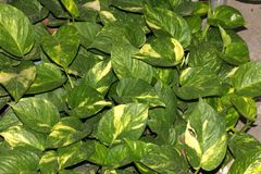 Devils Ivy, Golden pothos, Epipremnum aureum