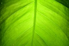 Devils ivy leaf, Thailand Stock Images