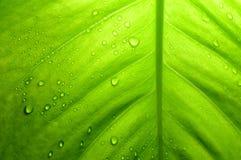 Devils ivy leaf, Thailand Royalty Free Stock Images