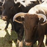 Devon bull and Angus cow. Royalty Free Stock Photos