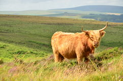 Devon Bull. Photo captured in Dartmoor National Park, Devon, England Stock Photography