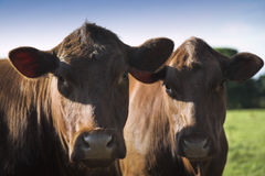 Devon Cattle Stock Image
