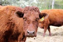 Devon Cow Stock Image