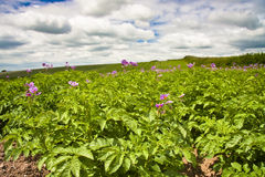 Devon crop farming. Cultivated sloping field of potato plants in flower Royalty Free Stock Photos