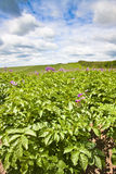 Devon crop farming. Cultivated sloping field of potato plants in flower Stock Photography