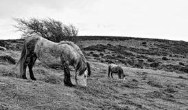 Devon dzicy konie Fotografia Royalty Free