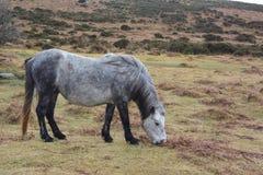 Devon dzicy konie obrazy stock
