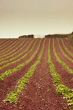 Devon farming on red soil. Devon cultivated field of young potato plants in red soil Stock Image