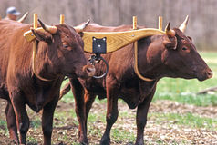 Devon Oxen Imagem de Stock