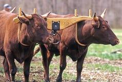 Devon Oxen Imagen de archivo