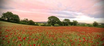 Devon Poppies stockbilder